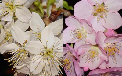 桜の瞑想で心を開く