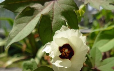 伯州綿の花